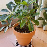 【観葉植物】鉢の植え替え時期になったので鉢を大きくしました